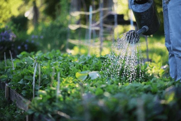 Watering a prepper garden